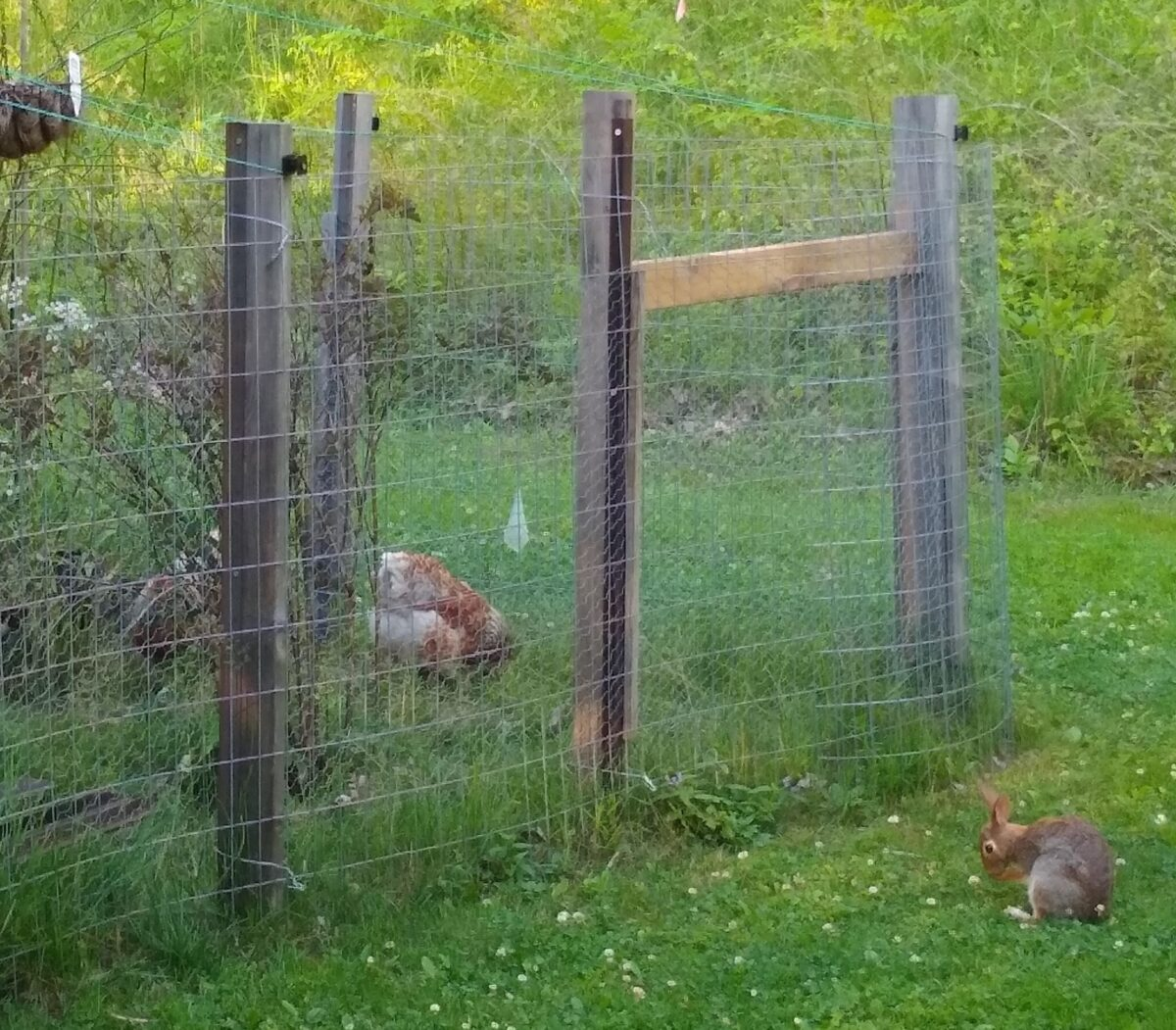 Image of two chickens on one side of a fence and a wild rabbit cleaning its face on the other.
